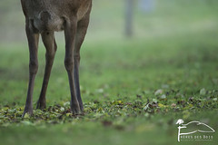 Quelques pieds (Les Frres des Bois) Tags: cerf cervuselaphus cerflaphe cervids cervus cervidae biche jardin reddeer