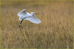 Little Egret in the reeds (Jims Fotos) Tags: 2016 arne birds ef600f4 eos1dx november egret flying bird
