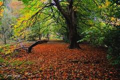 DSC_8817 - Copy (Paul Rayney) Tags: autumn leaves fall tree leaf red