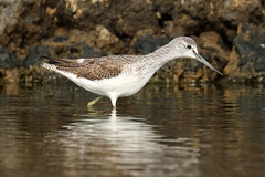 Common Greenshank - Tringa nebularia (Roger Wasley) Tags: common greenshank tringanebularia bird wader migration fuencaliente saltpans lapalma canaryislands spain spanish europe european