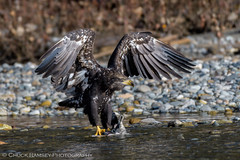 Skagit River Eagles-9 (Chuck Ramsey) Tags: birds eagle skagitriver washington