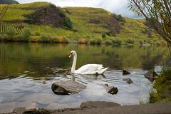_DSC6288 (darnoki) Tags: bremm rheinlandpfalz deutschland mosel fluss calmont river