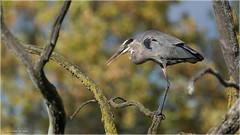 Great Blue Heron relaxing in a tree (Chris Lue Shing) Tags: nikond7100 tamronsp150600mmf563divcusd bird aurora newmarket nokiidaatrail mckenziemarsh tree fall autumn nature ontario canada greatblueheron heron blue chrislueshing