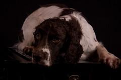 Black box (Flemming Andersen) Tags: black cocker spainel box dog zigzag