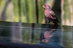 Reflected House Finch (SDRPhoto321 Back from the field) Tags: art air animal bird botanical birds birding blue bill black bright beak canon color colorful clouds cloud dof dark depthoffield eos expression eye elevated eyes exposure feathers festival flight great gold finch house phoenixdesertbotanicalgarden phoenix green garden haven inspiring inspire light lands mighty murals new nature national neck outdoor outside painting perspective reflection renaissance sunny sun tree treasure urban urbanpark vista vintage