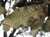 IMG_8406.jpg (mausboam) Tags: dryomyialichtensteini holmoak madrid plantgall quercusilex retiro