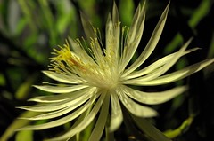 Cereus (–tradewinds•>) Tags: cereus night bokeh austin x leica macro