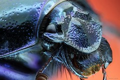 Scarabe, scarab H (megasharkodon) Tags: canon cognisys 7d macro mpe macrophtographie scarabe scarab focusstacking fort insecte insectevolant hyperfocale