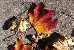 Day 314:  sidewalk leaves (Mark.Swanson) Tags: maple sugarmaple acer sac acersaccharum sidewalk autumn fall