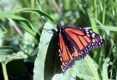 Still flying (TJ Gehling) Tags: insect lepidoptera butterfly nymphalidae monarch monarchbutterfly danaus danausplexippus fairmontpark elcerrito