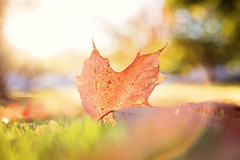 It is not happy people that are thankful.  It is thankful people that are happy. (Sandra H-K) Tags: hbw happybokehwednesday bokehwednesday bokeh bokehlicious leaf lensflare sunflare autumn autumnleaves sunshine sunny sunlight fall outside outdoors ontheground october golden goldenhour dof depthoffield nature