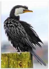 Shake up - 1349 (willfire) Tags: willfire singapore newzealand shag cormorant shaking off water preening auckland