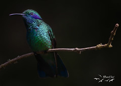 Lesser Violetear (elaiphoto) Tags: lesservioletear colibricyanotus elaiphoto ornithology birds birding wildlife nature costarica centralamerica paraisoquetzallodge
