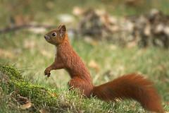Squirrel profile (hedera.baltica) Tags: squirrel redsquirrel eurasianredsquirrel wiewirka wiewirkapospolita sciurusvulgaris