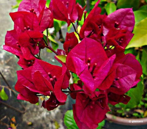 Buganvilia roja...P1130144EP