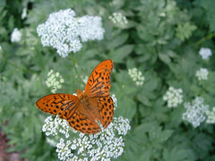 Kznsges gyngyhzlepke (ossian71) Tags: magyarorszg hungary mtra termszet nature virg flowers lepke butterfly