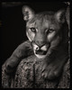 Cruz (ELAINE'S PHOTOGRAPHS) Tags: mountainlions cats bigcats nature wildlife animals felines pumas cougars floridapanthers catamounts