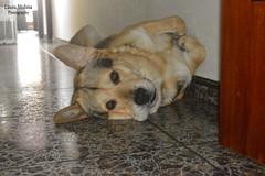 Troy (LauraSixx_95) Tags: photography photo dog fotografa pet mydog nikon nikond3200