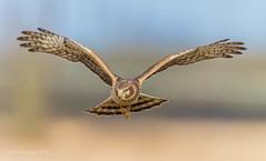 Northern Harrier (female) (Peter Bangayan) Tags: