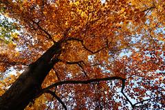 Viale dei Liquidambar (Lord Markus) Tags: tree albero pianta shadows ombre shadow autunno autumn fall 2016 monza parco park parcodimonza colors leaves foglie persone people wideangle grandangolo red rosse woods bosco nikon d300s sigma 1020