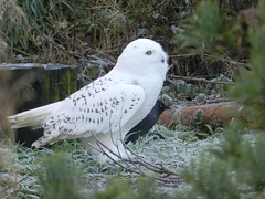 Snowy Owl and the Crow, Highland Wildlife Park, Nov 2016 (allanmaciver) Tags: snowy owl crow bird white black colours sit quiet watch highland wildlife park kincraig scotland visitor attraction