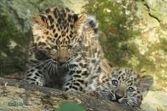 Kazimir and Anik (Noodles Photo) Tags: amurleoparden marwellzoo winchester uk sugetier cubs tierkinder pantherapardusorientalis amurleopard groskatze kazimir anik