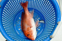 Red Snapper in Basket (MyFWCmedia) Tags: river fwc myfwc myfwccom redsnapper tagging saltwater floridafishandwildlife florida fish wildlife snapper fishing angler research