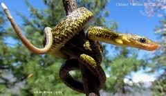hodgsons ratsnake (Chime Tsetan) Tags: snake herpetology snakesofindia nonvenomoussnake indiansnakes ophiology beautifulsnake hodgsonsratsnake orthriophishodgsonii chimetsetan himalayantrinketsnake elaphehodgsonii herpetologyindia ophiologyindia