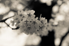 IMGP6918-2 (Amad) Tags: flower japan spring   sakura kiryu