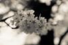 IMGP6918-2 (Aḥmad) Tags: flower japan spring 桜 日本 sakura kiryu زهرة 春 さくら ساكورا ربيع 桐生 يابان