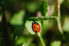 coccinelle (pontfire) Tags: red france animal garden insect rouge jardin ladybug normandie animaux normandy insecte coccinelle pontfire