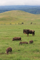 Warthogs and wildebeest (jnyaroundtheworld) Tags: africa animals tanzania wildlife lion ngorongoro crater zebra giraffe massai serengeti animaux girafe afrique faune zbre tanzanie greatmigration wetseason manyaralake ndutu felins masa lacmanyara saisondespluies grandemigration