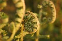 Ferns (emma_weir) Tags: plant fern green leaves garden curl