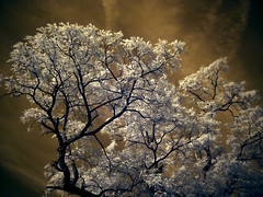 chinaberry tree (BryanBowman) Tags: tree ir photography hdr infrare
