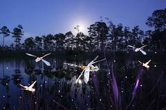 Jason D. Page Dragonflies 4 (Jason D. Page) Tags: longexposure inspiration lightpainting color night forest colorful dragonflies dragonfly magic dream fantasy slowshutter dreamscape lightart jasonpage lightpaintingphotography jasondpage