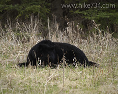 """Black Bear • <a style=""""font-size:0.8em;"""" href=""""http://www.flickr.com/photos/63501323@N07/8758231670/"""" target=""""_blank"""">View on Flickr</a>"""