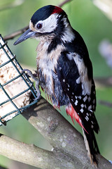 GREAT SPOTTED WOODPECKER (Eddie Evans) Tags: birds gardenbirds ourgardenbirds birdsingardens brithishbirds