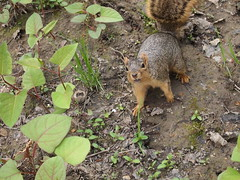 P5063817 (Raccoon Photo) Tags: flowers trees friends ohio wild summer lake cute green nature animals creek river walking fun spring furry squirrel squirrels friend funny stream hiking walk nuts may handsome peanuts hike cutie deer friendly peanut wildanimal parma nut reservation walkinginnature metropark metroparks cuteanimal wildsquirrel parmaohio bigcreekparkway hikinginnature stateroadpark