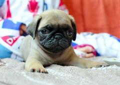 Cãozinho (De Santis) Tags: brazil dog pet cão animal brasil 35mm eyes nikon small pug olhos cachorro 18 filhote pequeno filhotinho estimação puppie cachorrinho bockeh d5100 fernandodesantis