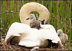 Swans (Choulabags) Tags: swan exploredchoulabags blinkagain bestofblinkwinners blinksuperstars bestofsuperstars