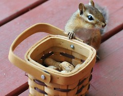 Hey! I think the squirrels were eating my peanuts....! (nushuz) Tags: basket adorable peanuts chipmunk ugh alvin chippie happyfirstdayofjune squirrelsatehispeanuts hothere90lastthreedays noacinyet