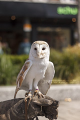 Morning Owl (R.Azhari) Tags: old nottingham uk morning nature animals canon square raw dof market owl canon50mm eos500d t1i