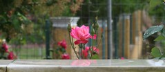 (late2lense) Tags: pink summer tree rose wall fence reflections pillar foliage marble rosebuds