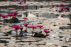Lotus flower at Angkor Wat pound. (apertureDC) Tags: old travel pink summer lake flower reflection building green heritage tourism monument nature water beautiful beauty asian religious temple site pond ancient asia cambodia khmer exterior lotus blossom buddha religion tomb buddhism unesco siem reap tropical thom oriental angkor wat hinduism vacations