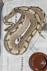 Ball Python Ovulation (fab_rice2) Tags: ball spider pastel breeding python ovulation