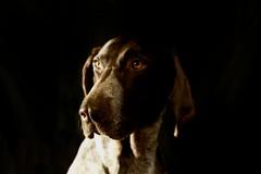 Tessa (MilkaWay) Tags: portrait face georgia eyes dof head birddog athens tessa athome gsp selectivefocus germanshorthairedpointer 4yearsold clarkecounty soontobe5