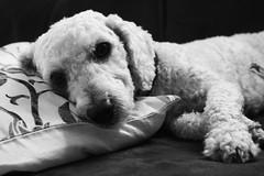 mimimilena (quedy!) Tags: white black dogs cachorro poodle