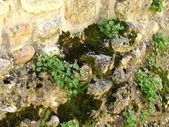Reclaiming (K.G.Hawes) Tags: city plants plant france stone wall french town moss village creative commons medieval cc creativecommons hilltop walled ain perouges rhonealpes pérouges