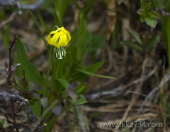 "Glacier Lily • <a style=""font-size:0.8em;"" href=""http://www.flickr.com/photos/63501323@N07/9315575059/"" target=""_blank"">View on Flickr</a>"