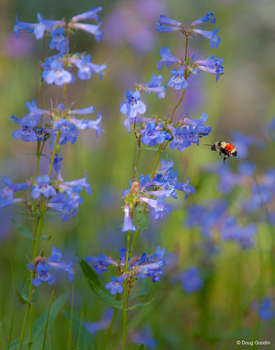 Photo - Native bee pollinating blue mist penstemon.